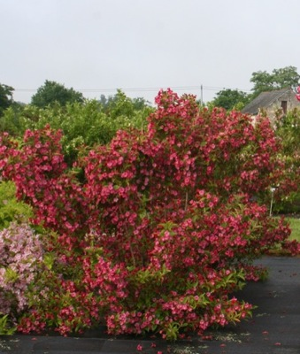 Weigela Moulin Rouge in garden