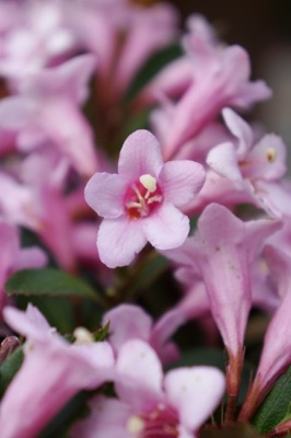 Weigela Pink Poppet flower close-up