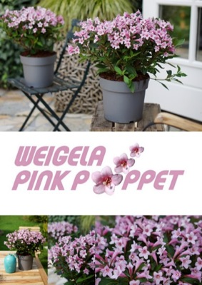 Flyer of Weigela Pink Poppet