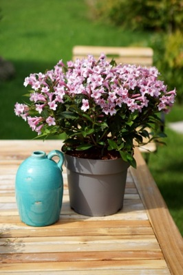 Weigela Pink Poppet on patio