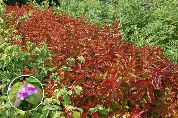 Weigela Wings of Fire with nursery